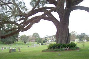 Oak tree at Natchez City Cemetery